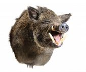 picture of wild hog  - Taxidermy mount of a Sus Scrofa - JPG