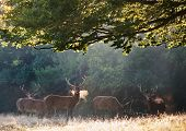 picture of cervus elaphus  - Group of red deer stags in landscape on misty foggy morning - JPG