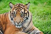 picture of tiger eye  - Portrait of Sumatran Tiger Panthera Tigris Sumatrae big cat in captivity - JPG