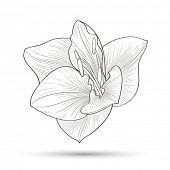 Hand-drawn flower  amaryllis. Element for design. Abstract floral background.