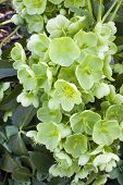stock photo of helleborus  - Christmas Rose plant  - JPG
