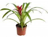 stock photo of bromeliad  - Bromeliad plant in flowerpot  - JPG