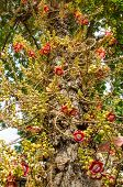 picture of cannonball  - Cannonball Tree  - JPG