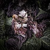 Radicchio on a Compost Heap