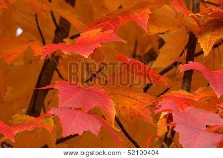 Fiery Autumn Closeup