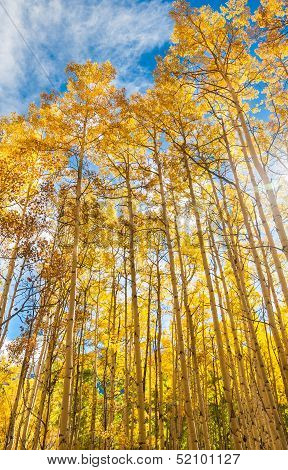 Aspen trees in Autumn, Maroon Bells Wilderness, Aspen Colorado