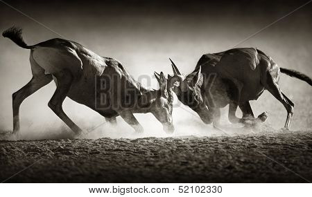 Red hartebeest dual in dust - Alcelaphus caama -  Kalahari desert -  South Africa