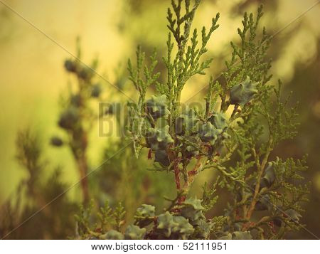 Thuja Branch With Cones Taken Closeup.
