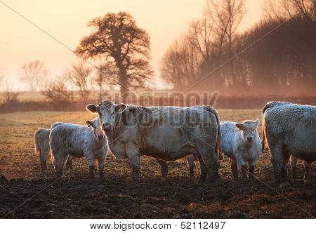 Winter cattle
