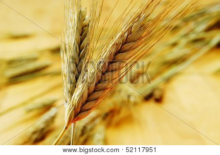 closeup of some ripe wheat ears
