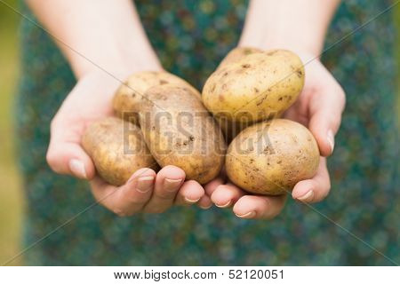 Hands holding some home grown organic potatoes