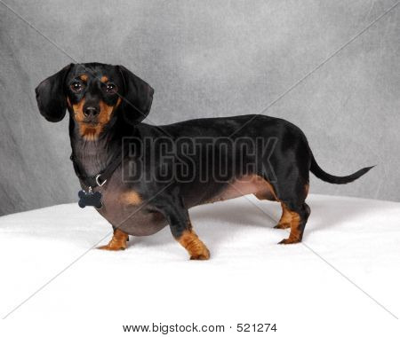 Doxie Dog
