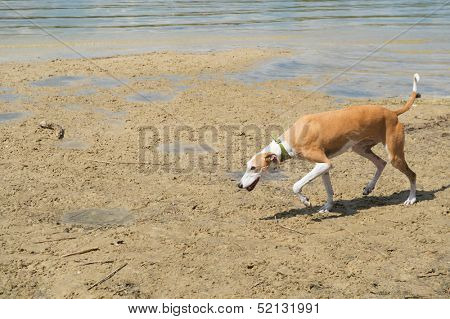 Spanish Galgo with necklace walking near water