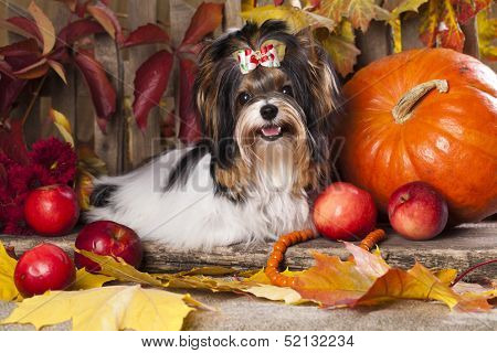beaver yorkshire terrier and autumn leaves