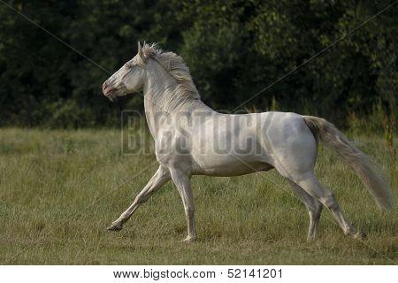 Galloping Connemara gelding