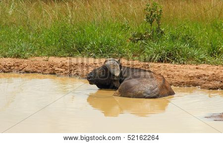 Cape Buffalo Resting In Muddy Watering Hole