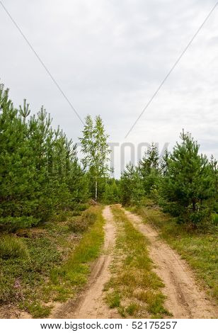 Path In Pine Tree Forest