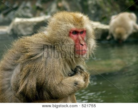 Macaque Monkeys In Hot Spa