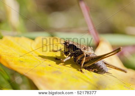 bush cricket - autumnal leaf