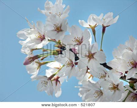 Cherry Blossom & Blue Sky