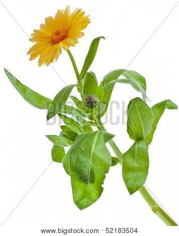 One Single orange flower calendula close up macro Isolated on white background