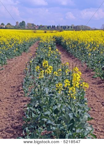 Oil Seed Rape (canola)