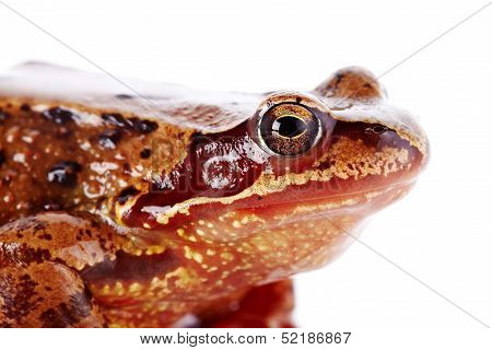 Portrait Of A Brown Frog.
