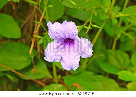 Ruellia Tuberosa Flower Blooming,  Purple Flower