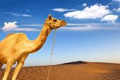 stock photo of sahara desert  - Camel and desert sand dunes panoramic landscape - JPG