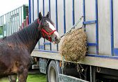 stock photo of feeding horse  - A Horse Feeding From Hay at a Horsebox Vehicle - JPG