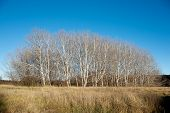 pic of denude  - Stand of Trees in Winter with no foliage - JPG
