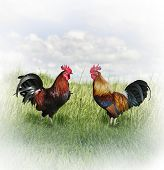 foto of fighting-rooster  - Two Colorful Roosters Ready To Fight - JPG