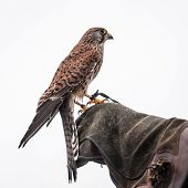 stock photo of pecker  - Photo of Kestrel sitting on falconers hand isolated on white background - JPG