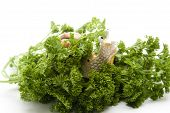 stock photo of escargot  - Fresh parsley with escargot on white background - JPG
