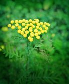 image of tansy  - Close up of tansy flower on green background