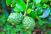 stock photo of citronella  - Leech lime or bergamot fruits on tree in garden - JPG