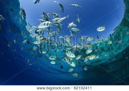 Fish in Ocean (Scissortail Sergeant Majors)