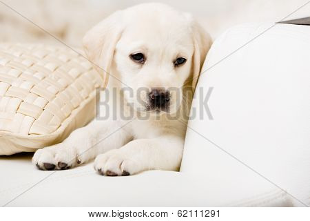 Close up of sad white Labrador puppy lying on the white leather sofa with the pillow