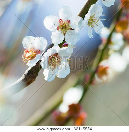 Oriental plum blossom. White flower.