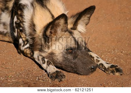 Portrait of an African wild dog or painted hunting dog (Lycaon pictus), South Africa