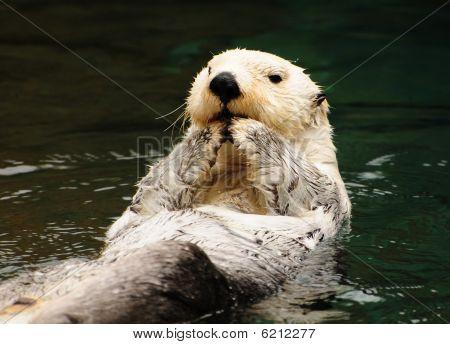 Arktis weiß otter