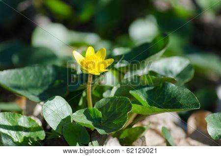 Ficaria verna Huds -  primrose of the south Ukraine