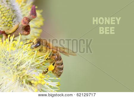 The European honey bee (Apis mellifera) pollinating of The Goat Willow (Salix caprea). Picture with space for your text.