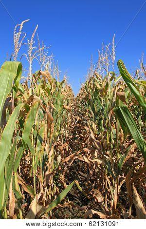 Corn Crops
