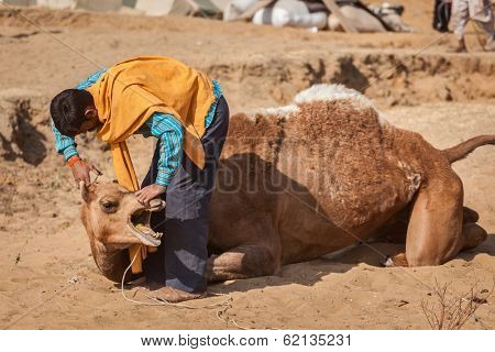 PUSHKAR, INDIA - NOVEMBER 20, 2012: Man cutting camel hair at Pushkar camel fair (Pushkar Mela) -  annual five-day camel and livestock fair, one of the world largest camel fairs and tourist attraction