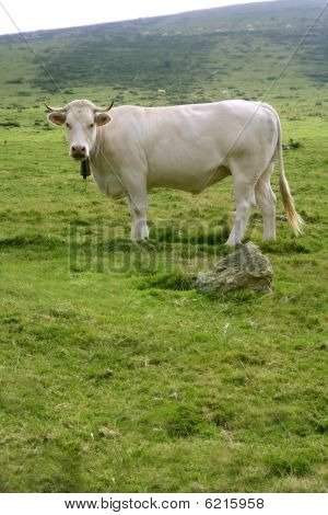 Beige Cows Cattle  Eating In Green  Meadow