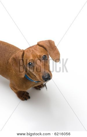 Miniature Dachshund looking up at camera on white