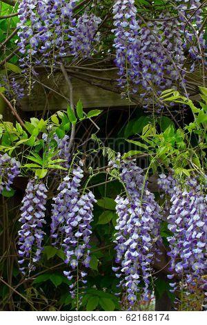 Flowering Wisteria Vertical Image