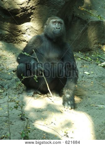 Gorilla Female