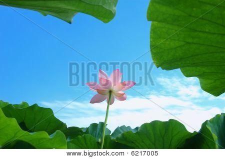 Lotus In Summer